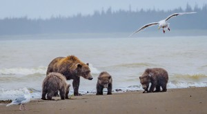 Grizzly Bears Clamming - Toni Anderson