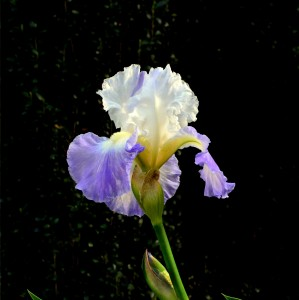 Iris White Blue - CharlesBaumrucker