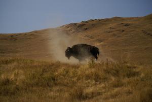 Bison Dust offHugh Hofer