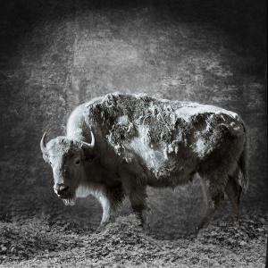 1st Place - People and AnimalsWhite Buffalo with Kudzuby Karey Walter